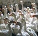 skupljaci perja 5